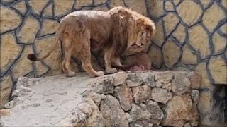 ВИТЯ и ДИНА спасаются от воды и получают сюрприз в коробке !!! Life of #lions