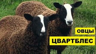 Разведение овец породы Цвартблес как бизнес идея   Овцеводство   Овцы Цвартблес
