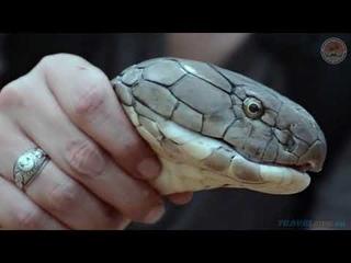 Как в Таиланде ловят ядовитых змей.