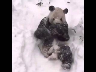 Интернет покорила Панда принимающая снежные ванны