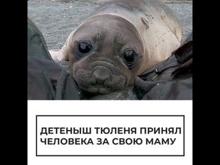 Детеныш тюленя принял человека за свою маму