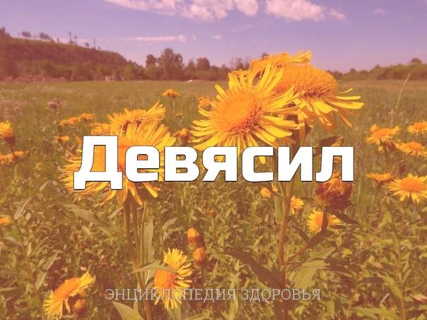 Девясил