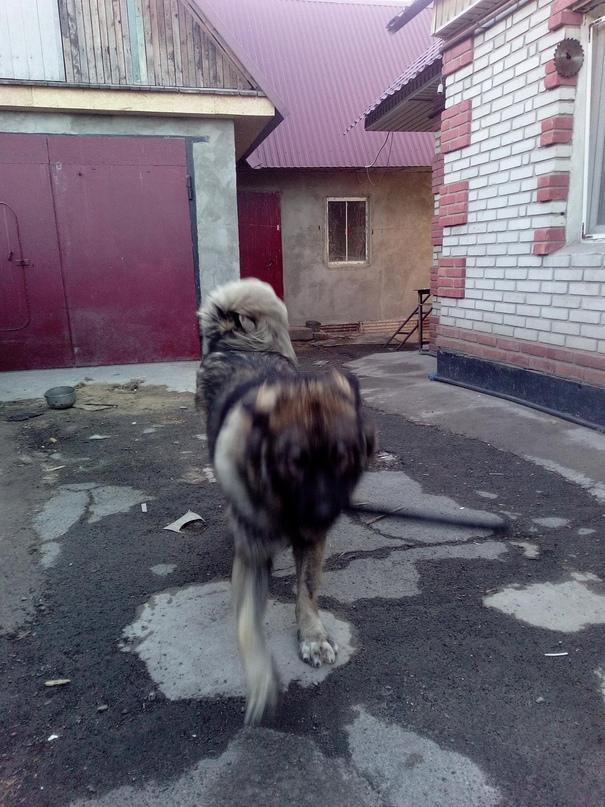 Кобель 1,5года,кавказская овчарка   Объявления Орска и Новотроицка №28450